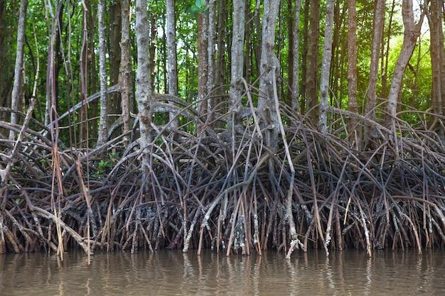 マングローブの木の根。肥沃なマングローブ林。 Premium写真