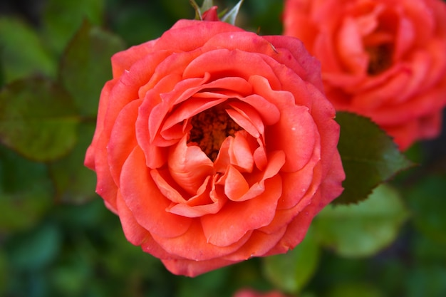 Коралловые розы в полном цвету в розовом саду Premium Фотографии