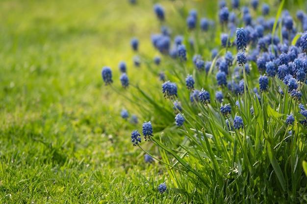 Мускари цветы в теплых лучах солнца на размытом фоне Premium Фотографии