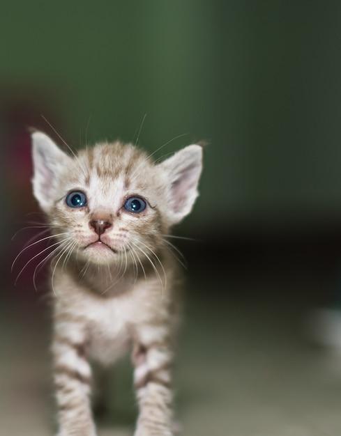 若い国内のかわいい子猫の髪の猫 Premium写真