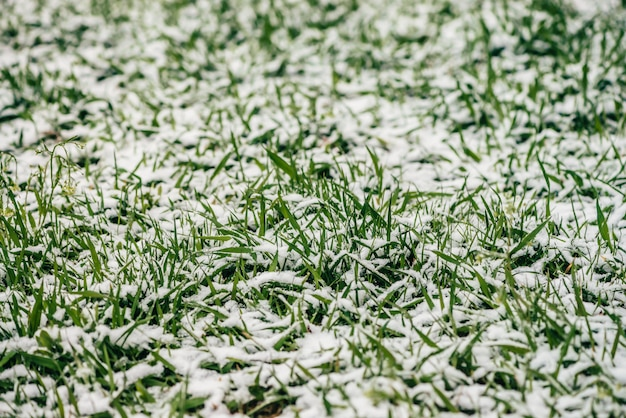 Зеленая трава на лужайке, покрытые белым снегом. кристаллы льда на растениях. неожиданный снег весной. весенняя аномалия. погодное явление. Premium Фотографии