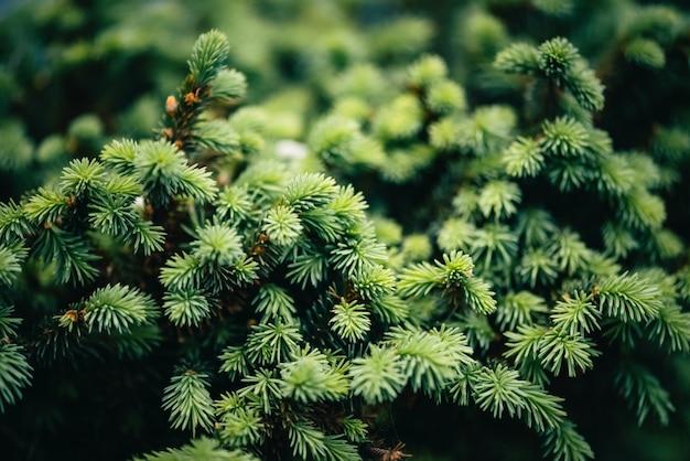 クリスマスツリーのクローズアップの美しい常緑の枝。緑の針はコピースペースを持つ小さな針葉樹です。小さなモミの断片は密接です。マクロで緑がかった天然スプルーステクスチャ。 Premium写真