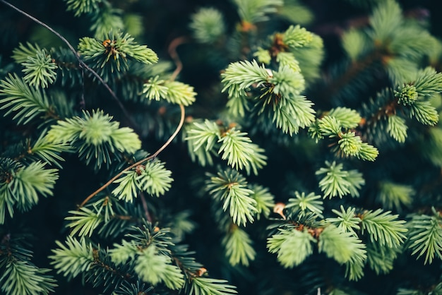 クリスマスツリーのクローズアップの美しい常緑の枝。 Premium写真