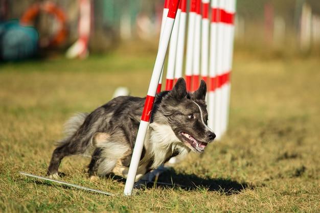 犬の敏捷性 Premium写真