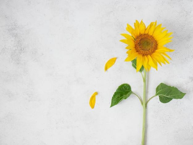 白い背景の上の新鮮な単一黄色ひまわり Premium写真