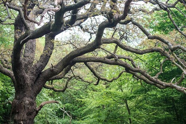 Старые дубы в саду. большой дуб с ветвями Premium Фотографии