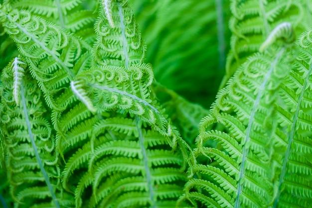エキゾチックな新鮮なシダの葉の自然な背景 Premium写真