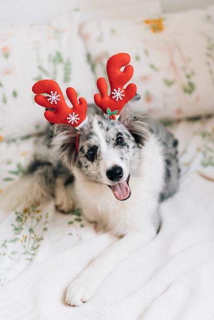 トナカイの耳を持つ美しい犬 無料写真