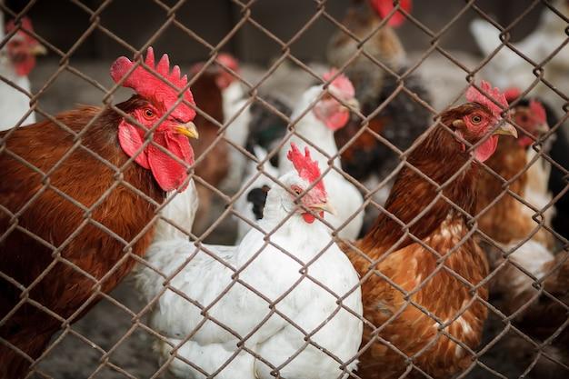 フェンスの後ろの鶏 Premium写真