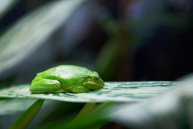 緑の木のカエル Premium写真