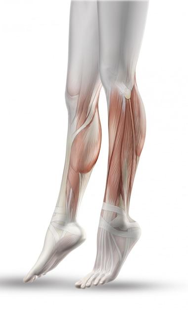 部分的な筋肉マップで女性の足のクローズアップ 無料写真