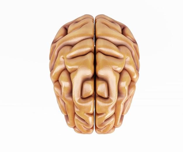Передняя часть головного мозга Бесплатные Фотографии