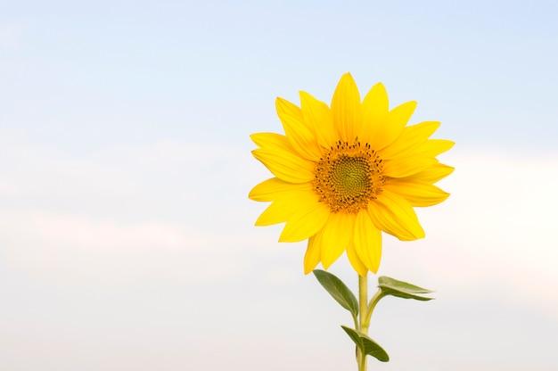 青い空を背景ひまわりの花 Premium写真