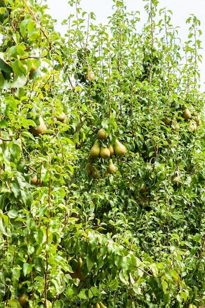 ナシの木が太陽の下で果樹園で果物を積んだ Premium写真