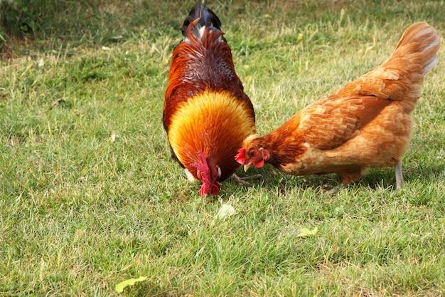 フランスの農場で美しいカラフルなオンドリ Premium写真