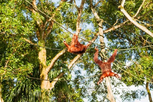 若いオランウータンは木の中でロープを登ります。シンガポール。 Premium写真