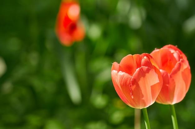 Мягкое изображение красивого красного тюльпана на зеленом Premium Фотографии