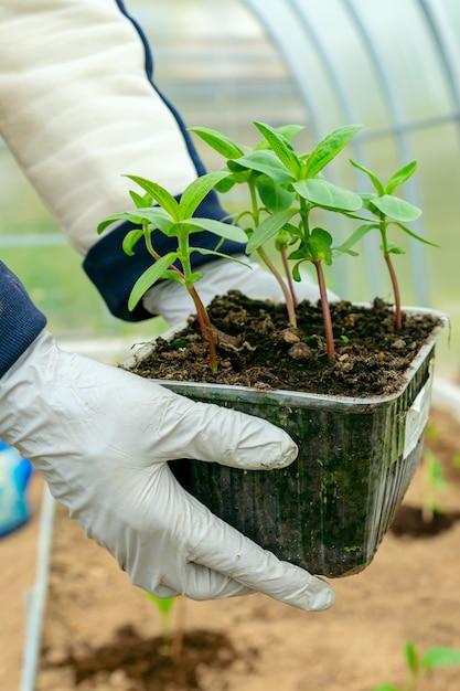 Женские руки с цинния цветок рассады готовы для посадки в почву. концепция сельского хозяйства и садоводства Premium Фотографии