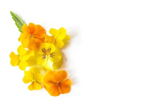 Желтая виола анютины глазки цветок творческая композиция. красочные весенние цветы на белом фоне. Premium Фотографии