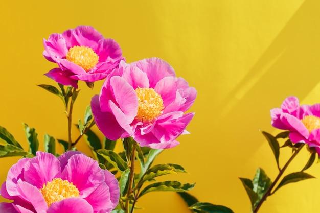 Красивый розовый пион цветы на модном желтом фоне. в полном расцвете понятий Premium Фотографии