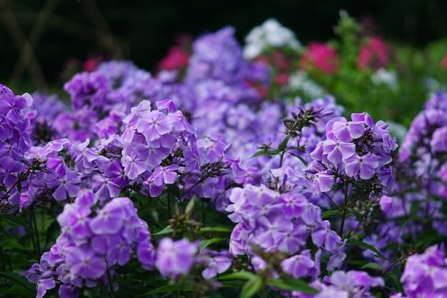 ピンクと紫の庭フロックス咲くクローズアップ Premium写真
