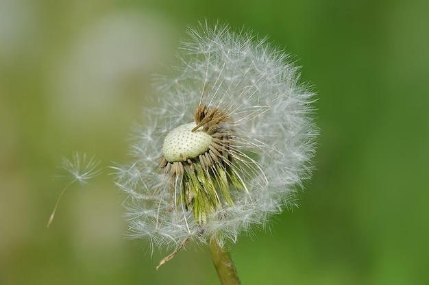 葉のない種とタンポポ Premium写真