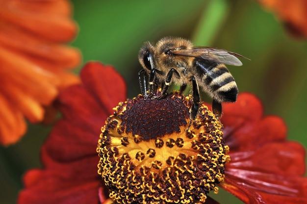 花の上に座って、蜂蜜の花粉を集める蜂 Premium写真