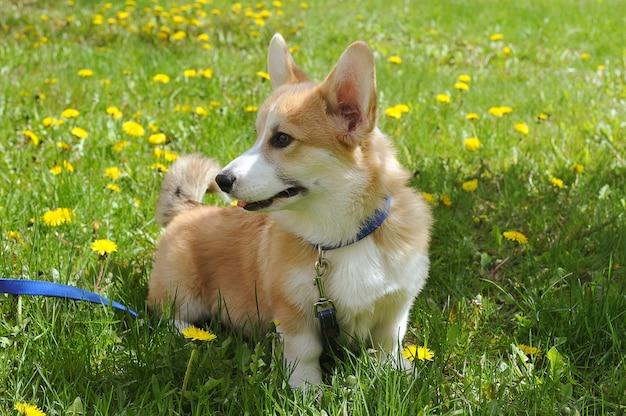タンポポと一緒に芝生の上を歩くウェルシュコーギーペンブローク Premium写真
