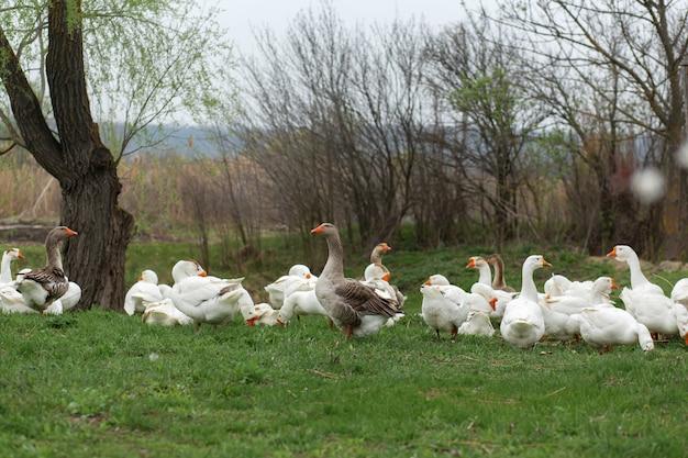 新鮮な緑の芝生と芝生の上の村で春に白いガチョウの群れが歩く Premium写真