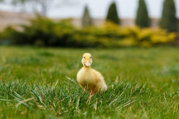 Один маленький желтый утенок на зеленой траве. Premium Фотографии
