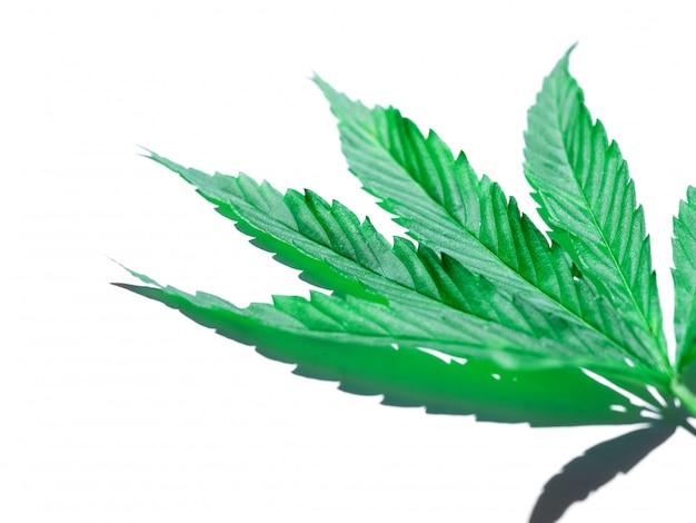 Зеленый лист конопли, изолированные на белом Premium Фотографии