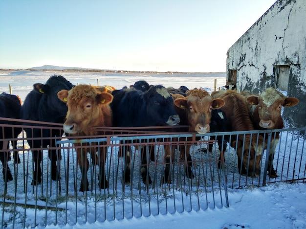 冬のアイスランドの馬の農場。 Premium写真