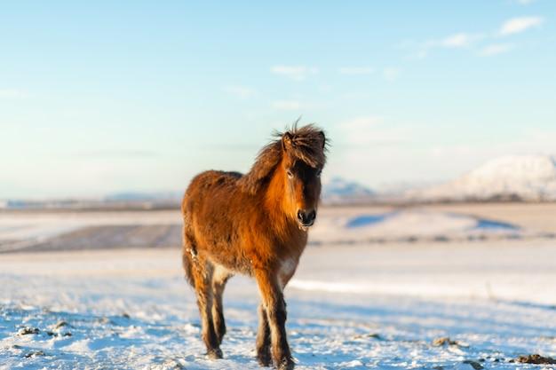 冬には雪の中でアイスランドの馬が歩きます。アイスランドの冬の風景 Premium写真