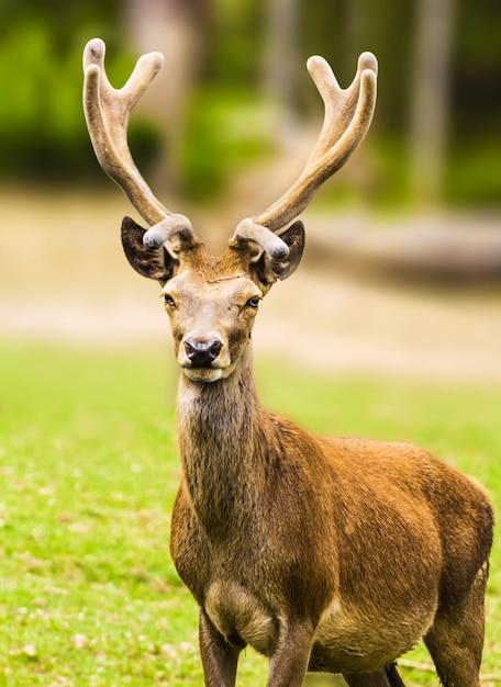 若い鹿 Premium写真