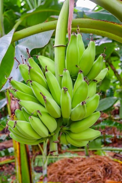 Зеленые плоды банана Premium Фотографии