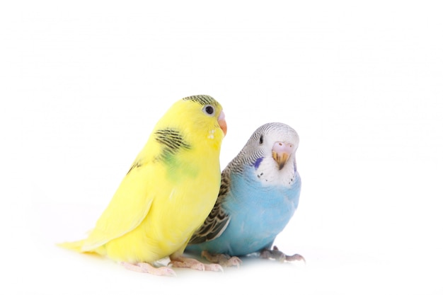 Маленькие желтые и синие волнистые попугайчики на белом фоне Premium Фотографии
