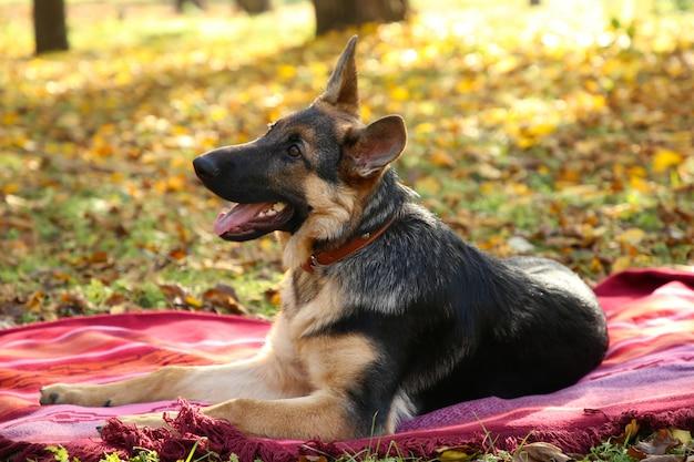 秋の公園のベッドカバーのジャーマンシェパード。森の犬 Premium写真