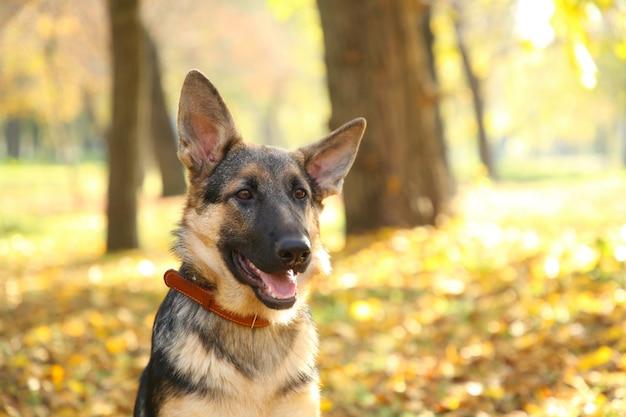 秋の公園でジャーマンシェパード。森の犬 Premium写真