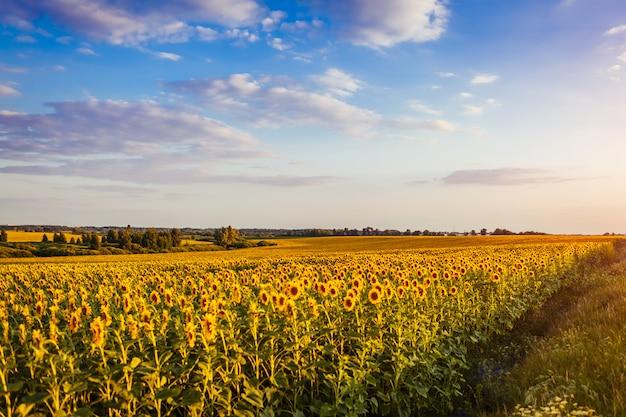 上の青い空と夕焼けの咲くヒマワリの夏の畑。 Premium写真