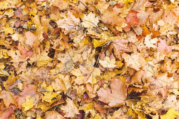 緑の草の背景、黄金の秋の時間、秋と黄色のカエデの葉 Premium写真
