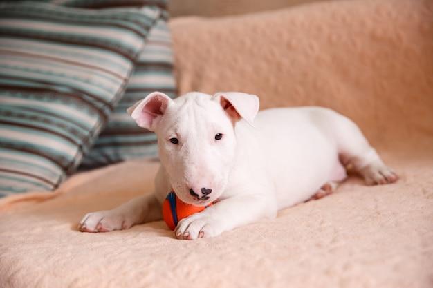 ソファに座ってホワイトブルテリア子犬 Premium写真