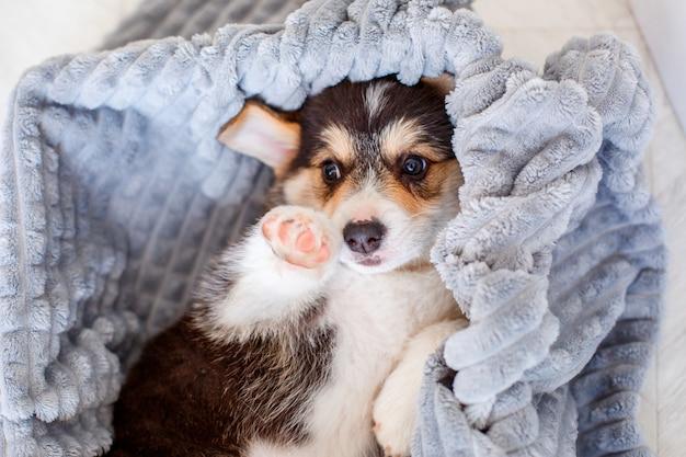 毛布で覆われているかわいいウェルシュコーギーの子犬 Premium写真