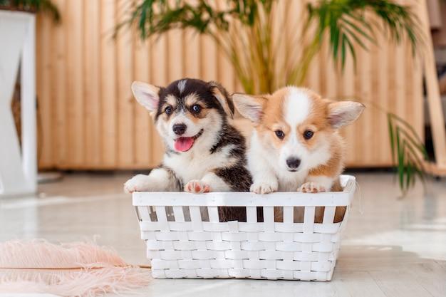 バスケットに座っているコーギーの子犬ウェールズペンブローク Premium写真