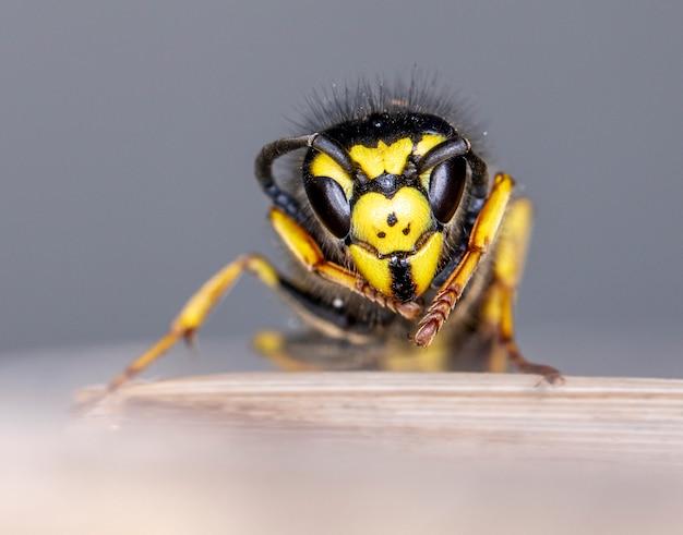 Экстремальные крупным планом осы на сером фоне размытым Premium Фотографии