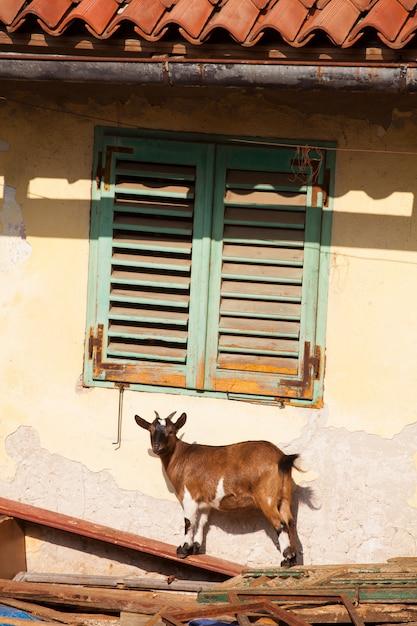 チベットのヤギ Premium写真