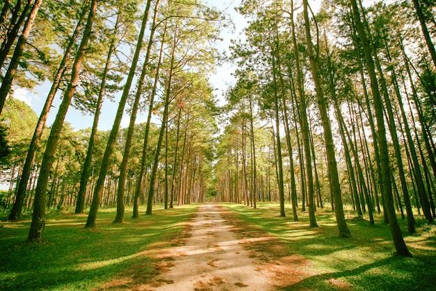 春の晴れた日の松の木の森。 Premium写真
