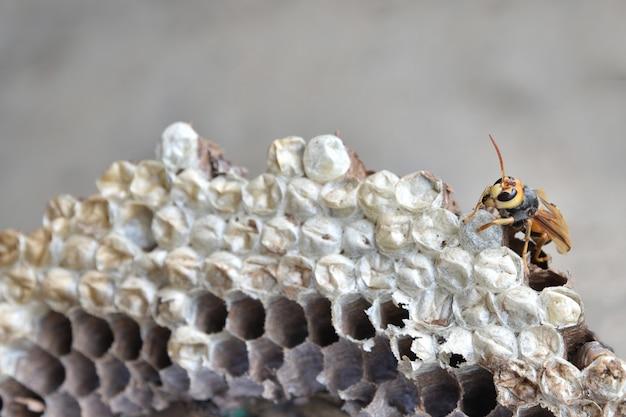 スズメバチの巣と幼虫。幼虫とスズメバチの巣。 Premium写真