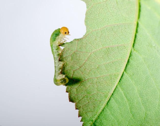 大きな毛虫が緑の葉を食べる Premium写真