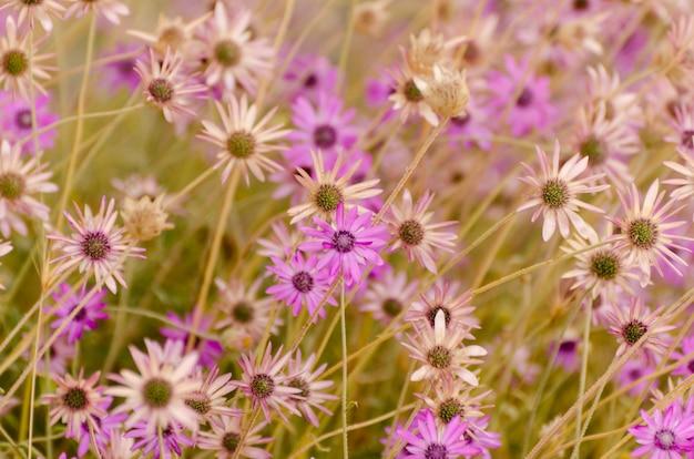 Летний цветочный из ярких фиолетовых ромашек. Premium Фотографии