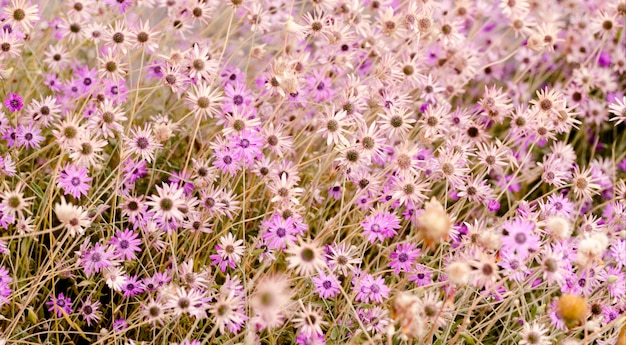 Яркие фиолетовые ромашки. Premium Фотографии